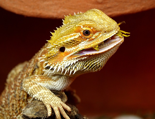 All Diet Options For Your Bearded Dragon
